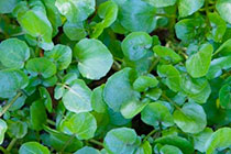 chalk stream watercress